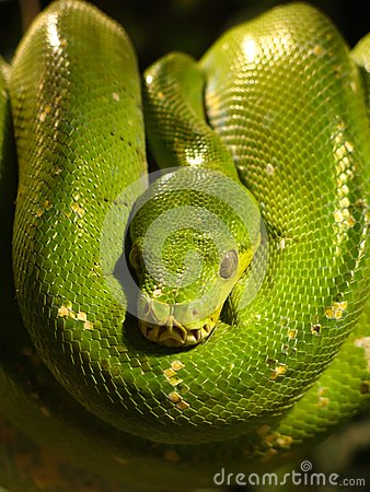 Closeup of Green Tree Python