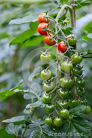 Closeup of growing cherry tomatoes