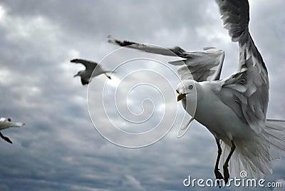 Closeup of a Gull in flight