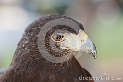 A closeup of a Harris hawk