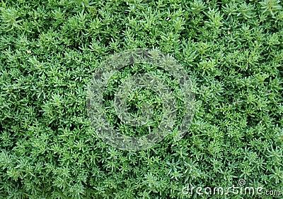 Closeup Hedge