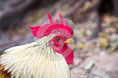 Closeup of a hen in a farmyard Stock Photo