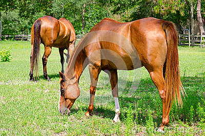 Closeup of horses grazing in a small field