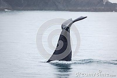 Closeup of humpback whale fluke disappearing in frigid Alaskan waters