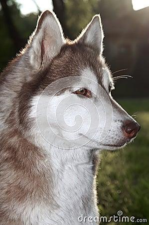 Free Closeup Husky Dog Outdoors Royalty Free Stock Image - 14449666