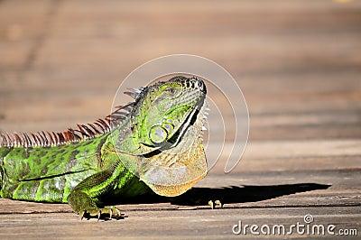 Closeup of iguana