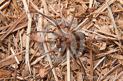 Closeup image of a Brown Recluse, Loxosceles reclusa