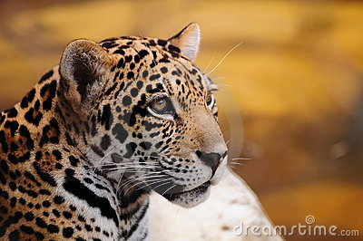 Closeup of a Jaguar