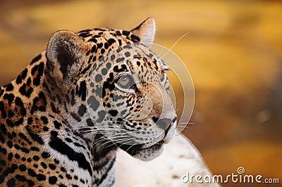 Closeup of a Jaguar