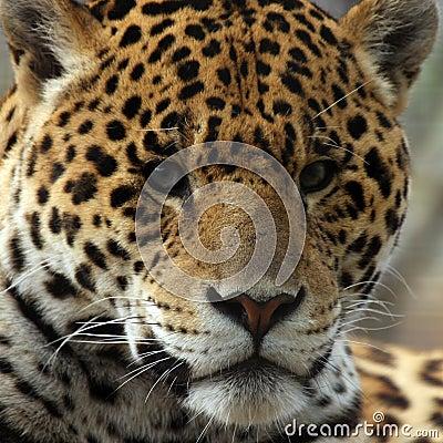 Closeup Of Jaguar