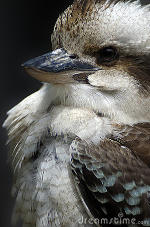 Free Closeup Kookaburra Royalty Free Stock Image - 290776