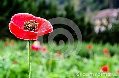Closeup of a large red  Papaver somniferum L