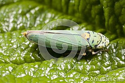 Closeup of leafhopper