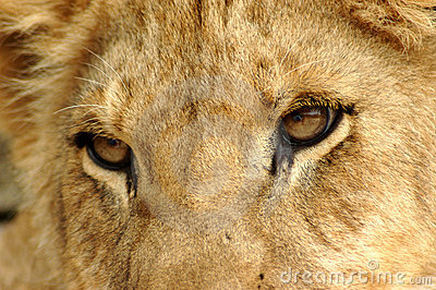 Closeup Lion eyes