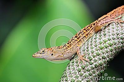Closeup of a Lizard