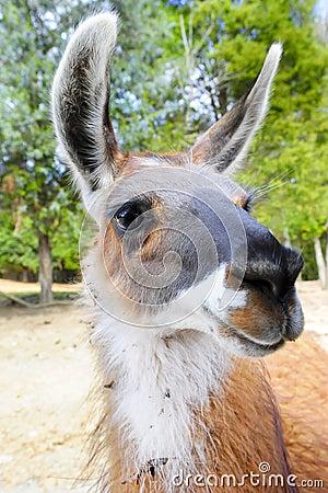 Closeup of a Llama