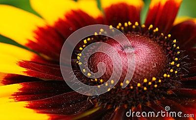 Closeup macro on yellow daisy