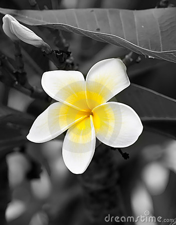 Closeup macro of yellow and white frangipani flowe