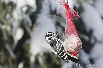 Closeup of a Male Downy Woodpecker