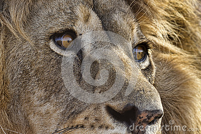 Closeup of male lion