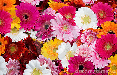 Closeup of many gerbera flowers