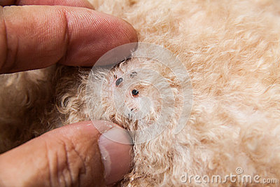Closeup Of Mite And Fleas Infected On Dog Fur Skin Stock ...