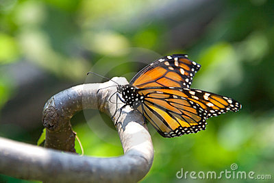 Closeup of monarch butterfly on a branch
