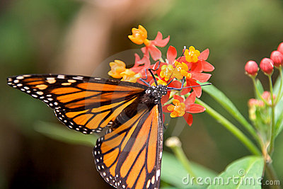 Closeup of monarch butterfly feeding