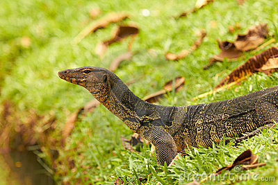 Closeup of monitor lizard - Varanus on green grass