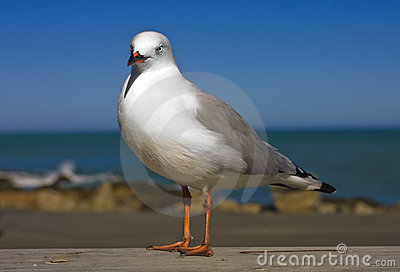 Closeup of  New Zealand Gull