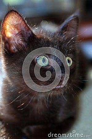 Free Closeup Of 8-week-old Black Kitten Royalty Free Stock Photo - 39934835