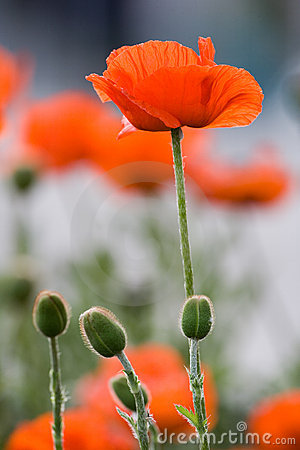 Free Closeup Of A Common Poppy Royalty Free Stock Image - 2460596