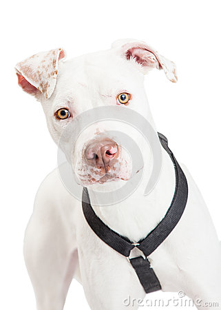 Free Closeup Of A Dogo Argentino Dog Stock Photo - 49262970