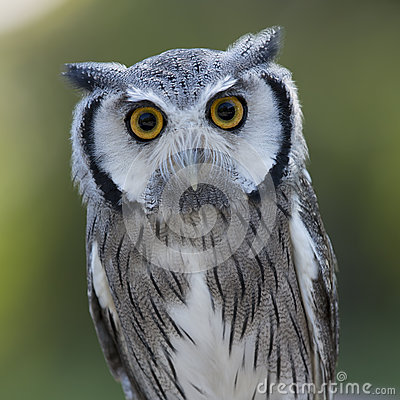Free Closeup Of A Northern White-faced Owl Royalty Free Stock Images - 77833919