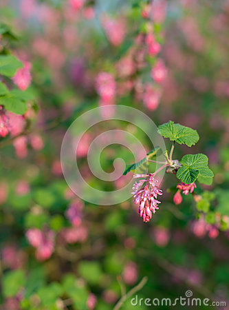 Free Closeup Of A Red Flowering Currant Bush Royalty Free Stock Photos - 39151748