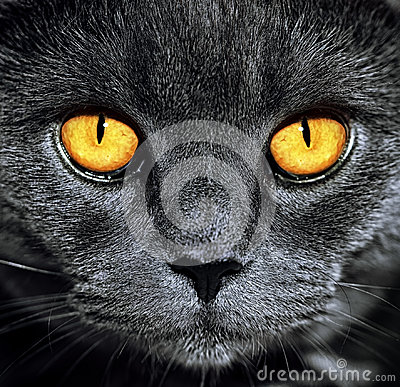 Free Closeup Of Beautiful Luxury Gorgeous Grey British Cat With Vibrant Eyes. Dark Background. Selective Focus. Dramatic. Royalty Free Stock Photo - 95552165