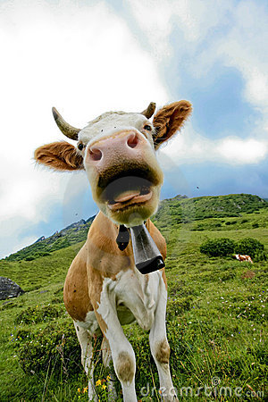Free Closeup Of Cow With Bell Royalty Free Stock Photo - 6371225