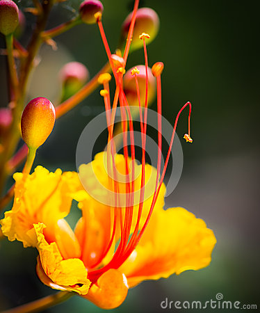 Free Closeup Of Gorgeous Single Mexican Bird Of Paradise Flower Royalty Free Stock Photography - 47814507