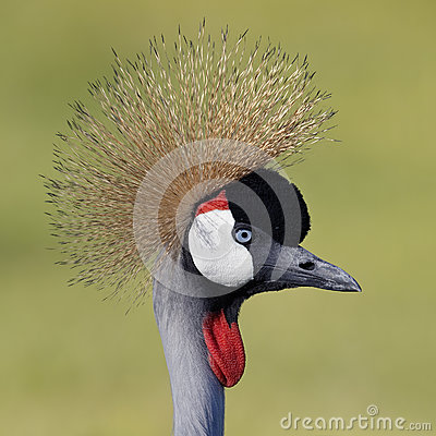Free Closeup Of Gray Crowned Crane Royalty Free Stock Photo - 77833895
