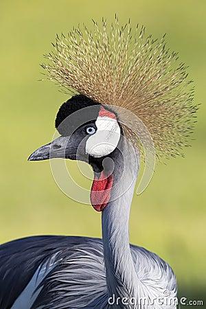 Free Closeup Of Gray Crowned Crane Stock Image - 77833901