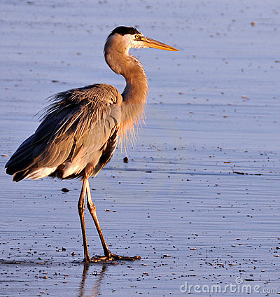 Free Closeup Of Heron On The Beach Royalty Free Stock Photos - 11924378