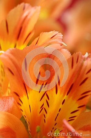 Free Closeup Of Orange Peruvian Lily Flower Stock Images - 30942724