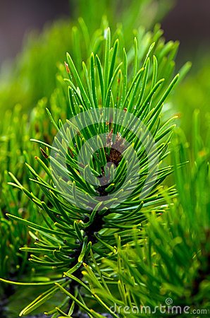 Free Closeup Of Pine Needles And Bough Royalty Free Stock Image - 34325306