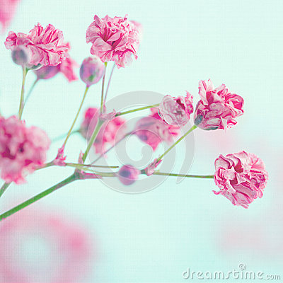 Free Closeup Of Pink Baby S Breath Flowers Royalty Free Stock Photos - 31233818