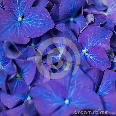 Free Closeup Of Purple Dark Blue Hortensia Flowers Stock Images - 68724214