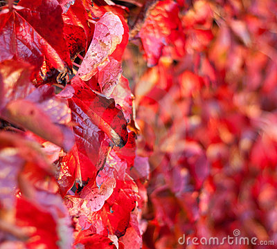 Free Closeup On Fading Autumn Leaves. Shalow Focus Royalty Free Stock Photo - 17003075