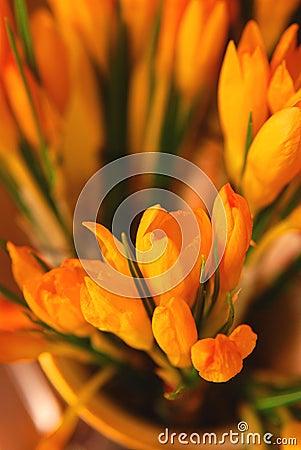 Closeup of orange crocus
