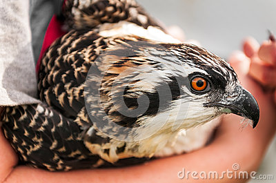 Closeup of Osprey Held in Naturalist s Arms