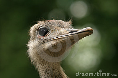 Closeup of ostrich head