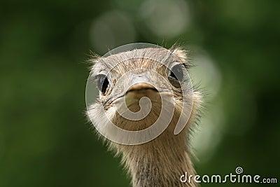 Closeup of ostrich head